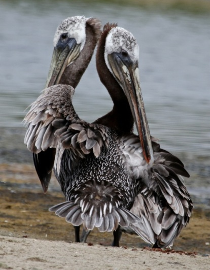 Question: Do two heads help a Brown Pelican catch more fish or just confuse him? (J. Waterman 7/27/14)