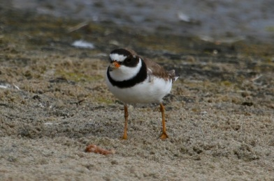 Semipalmated Plovers stop here briefly during their southward migration (J. Waterman 7/27/14)