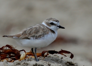Snowy Plover have returned to their wintering roost (J. Waterman 7/27/14)