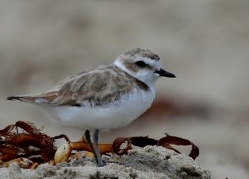 Snowy Plover have returned to their wintering roost (J. Waterman 7/27/14)