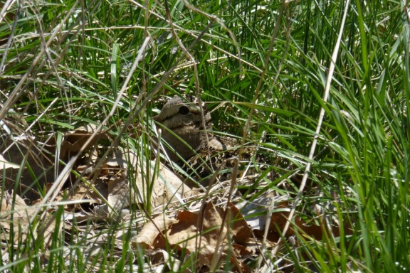 American Woodcock nesting next to the  McGee Marsh parking lot in Ohio (L. Johnson 5-7-14)
