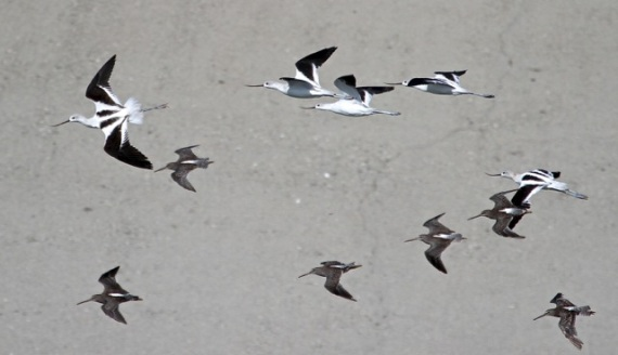 Avocets & Dowitchers in flight (J. Waterman 9/6/14)