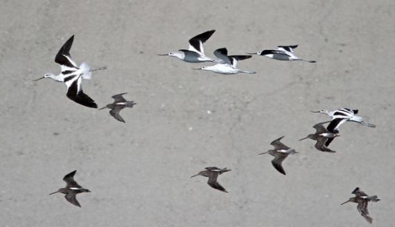Avocets & Dowitchers in flight (J. Waterman 9/6/14)