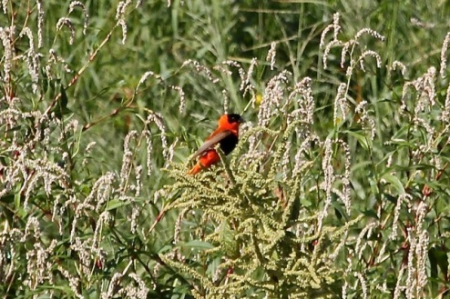 Orange Bishop at Willow St (J. Waterman 9/6/14)