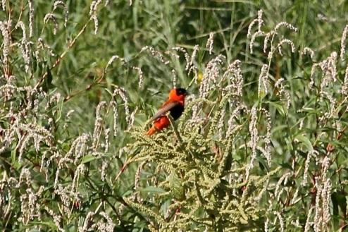 Orange Bishop at Willow St (J. Waterman 9/6/14)