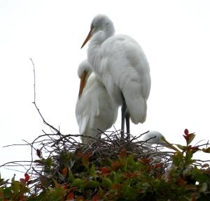 EgretChicks