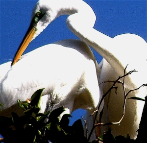 EgretCourting