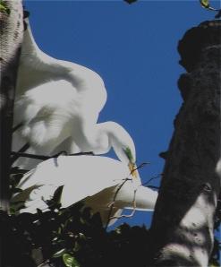 EgretsMating