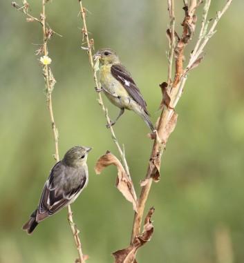 Lesser Goldfinches - breeding season is definitely over (R. Ehler 8/24/14)