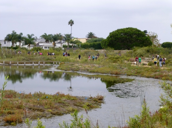 A line of pickers heads for the lagoon (L.Johnson 9/20/14)