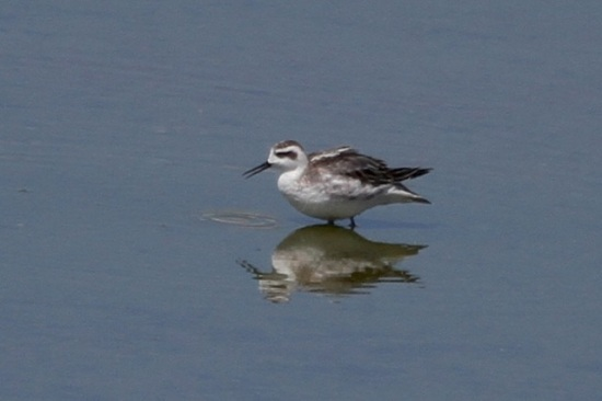 Red-Necked Phalarope at Alondra Blvd.  (J. Waterman 9/6/14)