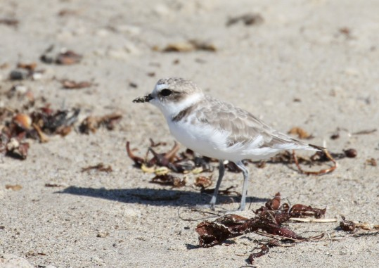 Snowy Plovers feed in the beach wrack (R. Ehler 8/24/14)