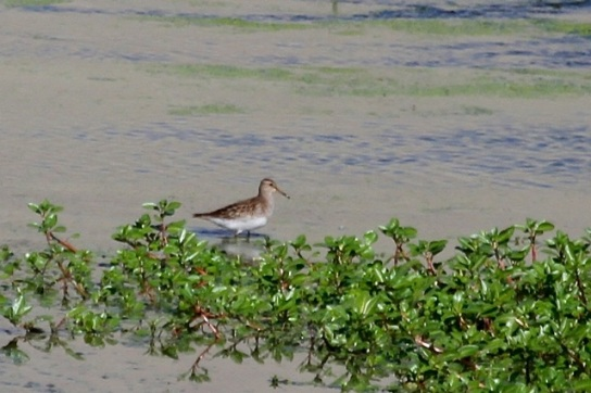 Pectoral Sandpiper at Willow St.  (J. Waterman 9/6/14)