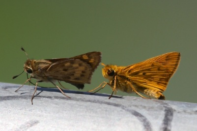Fiery Skippers female & male  (J. Waterman 9/6/14)