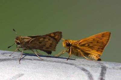 Fiery Skippers female & male  (J. Waterman 9/6/14)