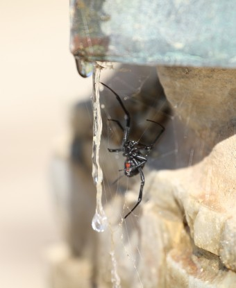 At the corner of the topographical water feature, a Black Widow Spider (R. Ehler 8/24/14)