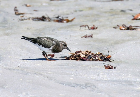 Black Turnstones generally prefer rocky shores (R. Ehler 8/24/14)