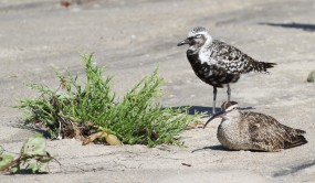 Black-bellied Plover, Whimbrel and pickleweed (R. Ehler 8/24/14)