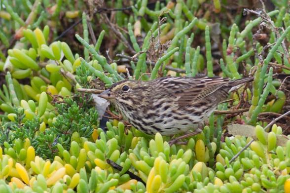 Beldings Savannah Sparrow is always found near pickleweed (Kirsten Wahlquist 10/11/14)