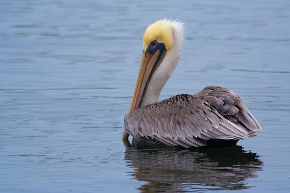 Brown Pelican in winter (basic) plumage (Kirsten Wahlquist 10/11/14)