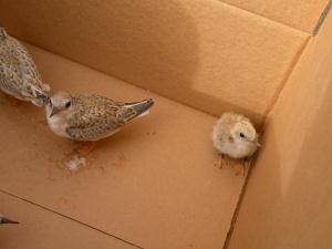 ChickInABox