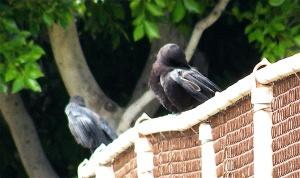 CrowChicks