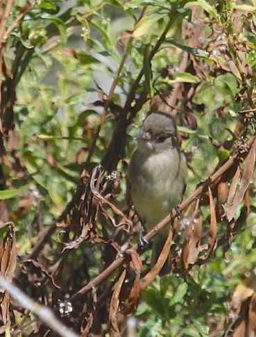 Willow Flycatcher, white throat & no eyering(J. Waterman 9/28/14)