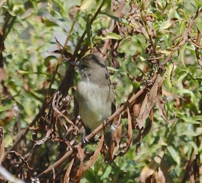 Willow Flycatcher, check the bill length(J. Waterman 9/28/14)