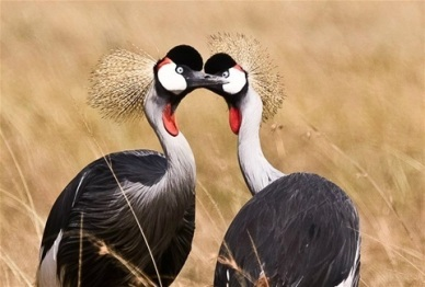 Grey Crowned-Cranes (from ANT website)