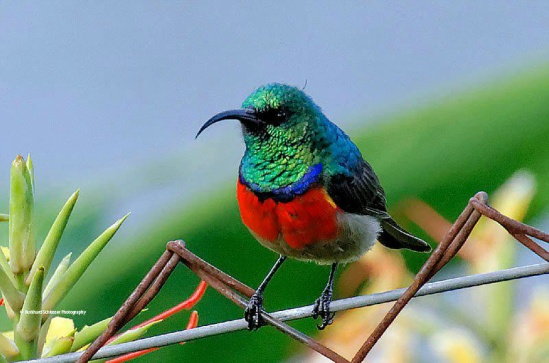 Just one of Kenya's sunbirds (from ANT website)