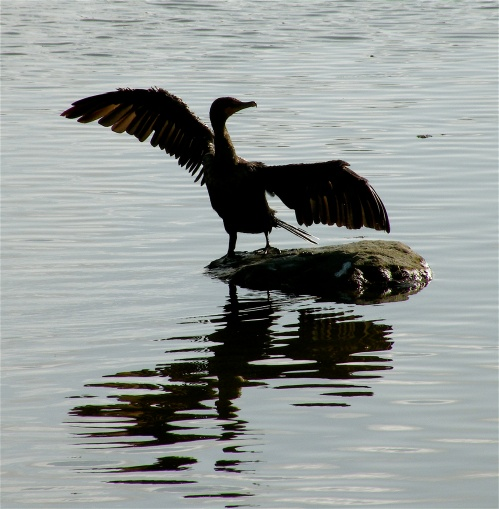Comorant in full stretch (L. Jones, Malibu Lagoon)