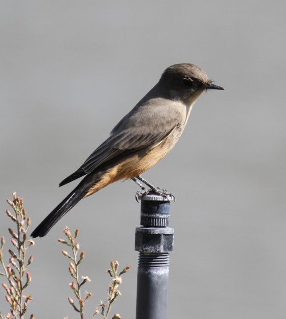Winter visitor Say's Phoebe with his ocraceous belly (R. Ehler 9/28/14)