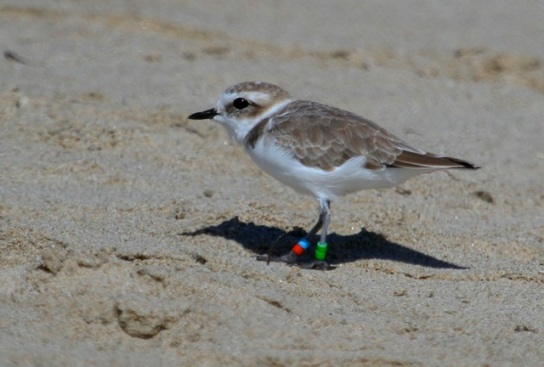 Newbie Snowy Plover Old timer VV:AW fledged summer 2011 at Oceano Beach(J. Waterman 9/28/14)