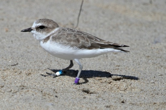 Newbie Snowy Plover VV:AW fledged summer 2014 at Oceano Beach(J. Waterman 9/28/14)