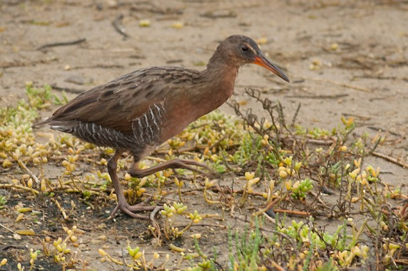 A brand new species for California - Ridgway's Rail!!! (formerly known as Clapper Rail)  (Kirsten Wahlquist 10/11/14)