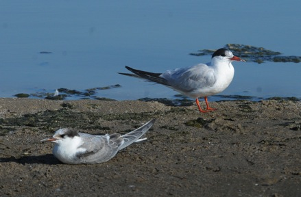 Common Terns - juvenile on left, adult on right (Jim Kenney 9/11/14)