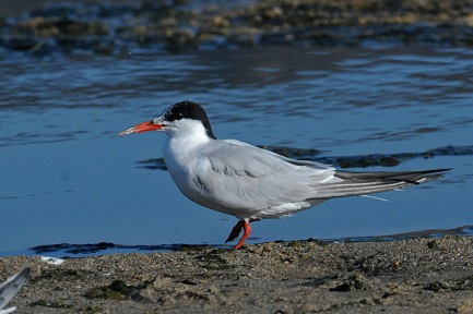 Adult Common Tern in alternate (non-breeding) plumage (Jim Kenney 9/11/14)