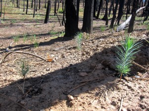 Rim fire photo5 from Sept 2014 site visit