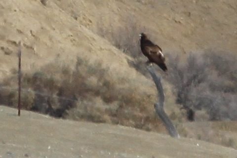 Golden Eagle at great distance, sub-adult  (J. Waterman 12/20/14)