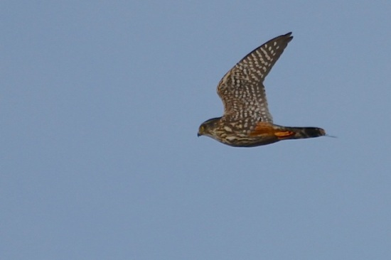 Merlin in flight (J. Waterman 12/20/14)