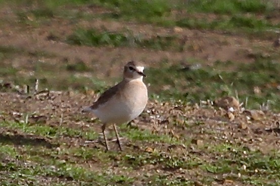 Mountain Plover near Panorama & Soda Lake Rds. (J. Waterman 12/20/14)
