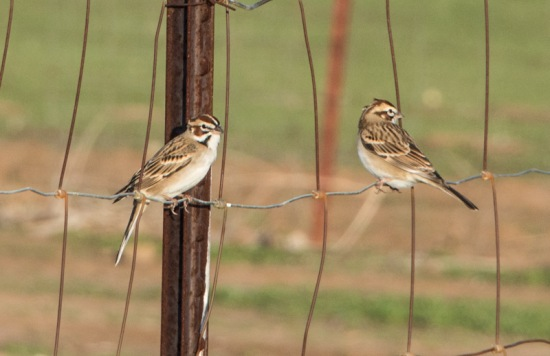 Lark Sparrows (Ray Juncosa 12/20/14)