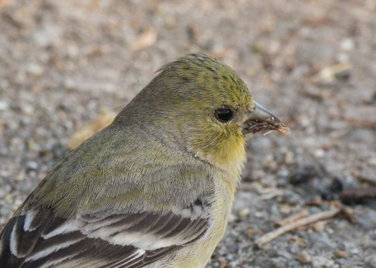 Lesser Goldfinch (Ray Juncosa 12/28/14)