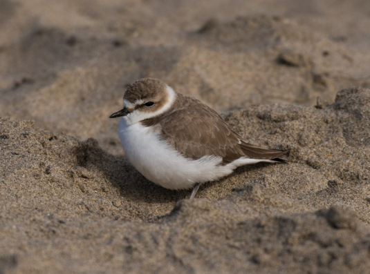 Snowy Plover (Ray Juncosa 12/28/14)