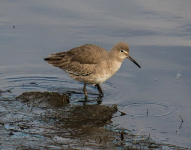 Willet (Ray Juncosa 12/28/14)