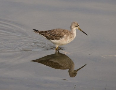 Greater Yellowlegs (Ray Juncosa 12/28/14)