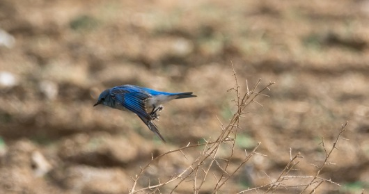 Mountain Bluebird in hot pursuit of an insect (C. Bragg 1/10/15)