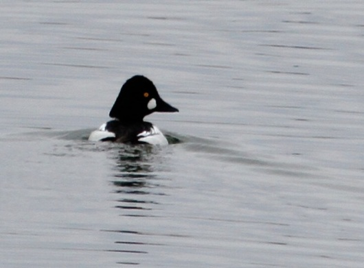 Common Goldeneyes like the California aqueduct (J. Waterman 1/10/15)