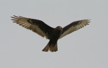 Dark phase Ferruginous Hawk flew directly overhead (J. Waterman 1/10/15)