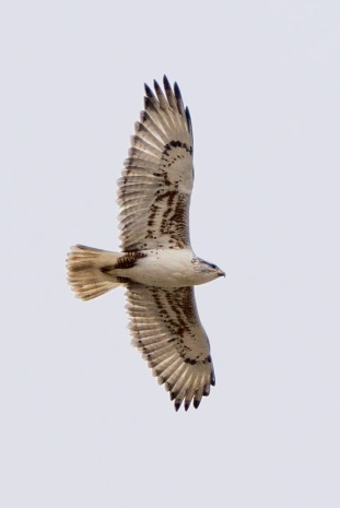 A Stunning Light Phase Ferruginous Hawk (C. Bragg 1/10/15)